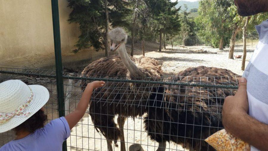 Ostrich farm in Rhodes
